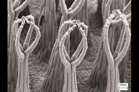 SEM images of the three-level hierarchical structure of Salvinia molesta - Figure 1c - zoomed out